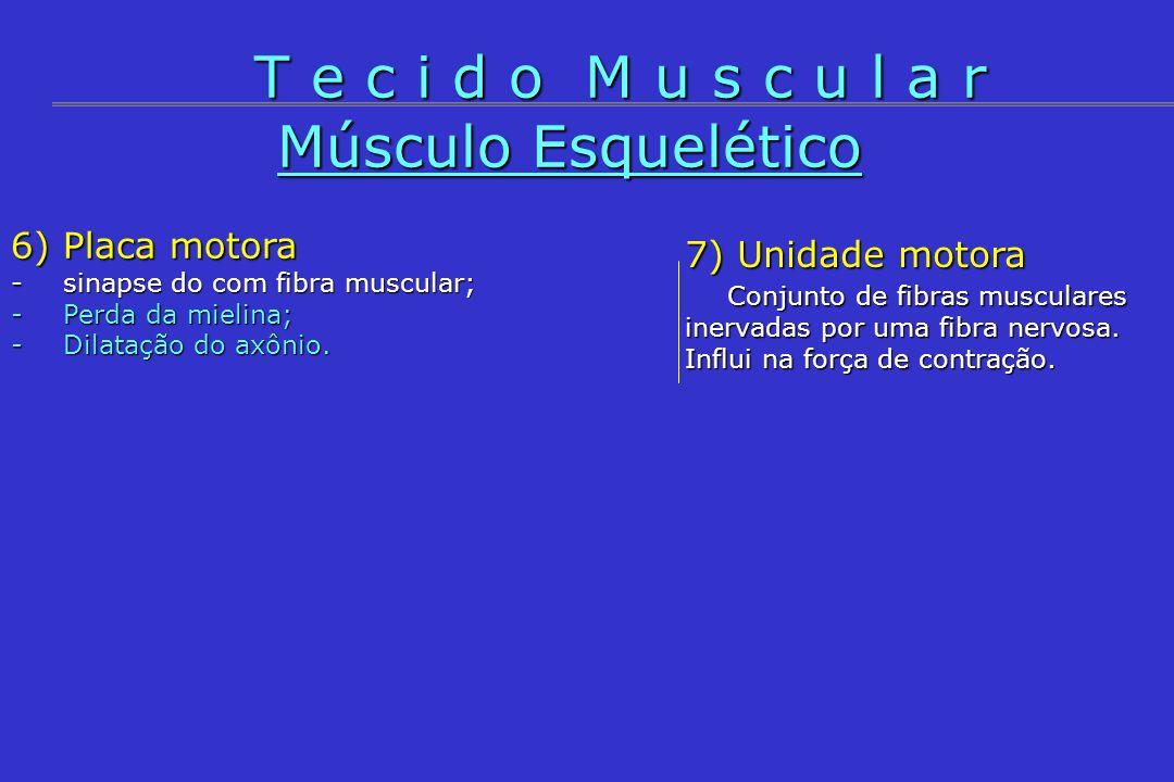 T e c i d o M u s c u l a r Músculo Esquelético 6) Placa motora
