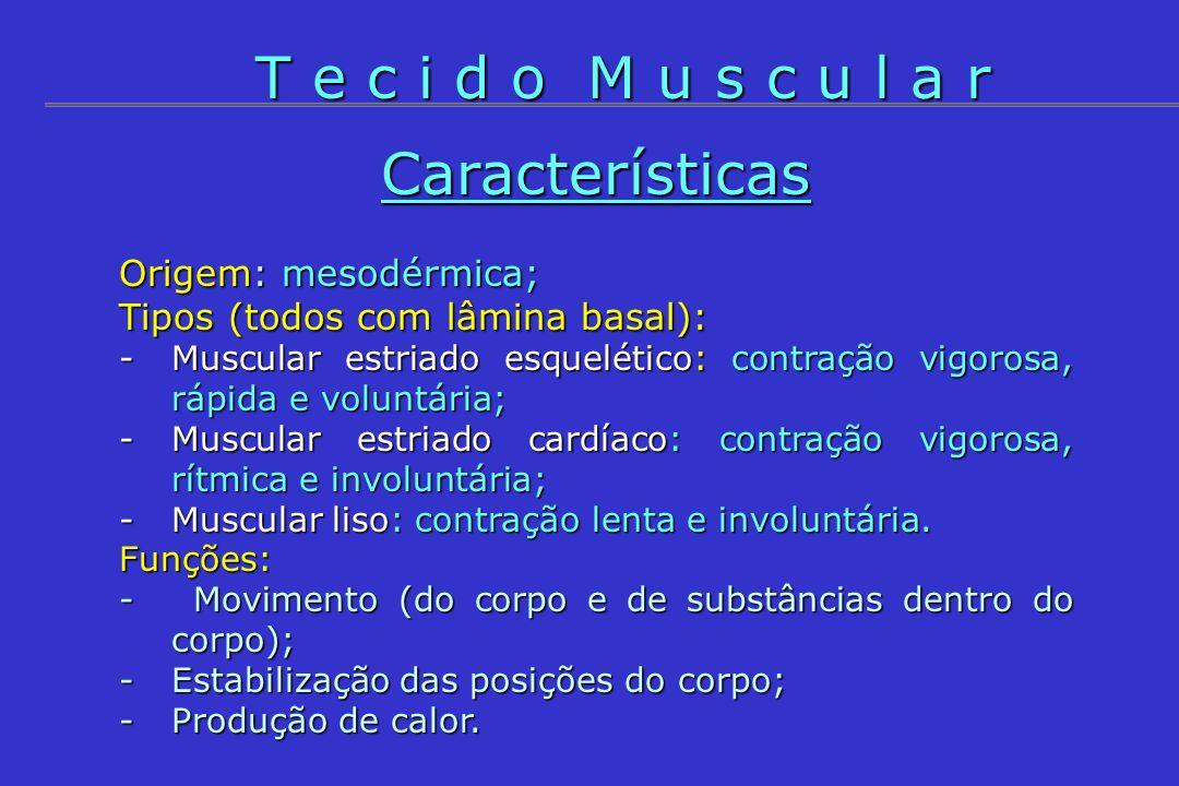 T e c i d o M u s c u l a r Características Origem: mesodérmica;