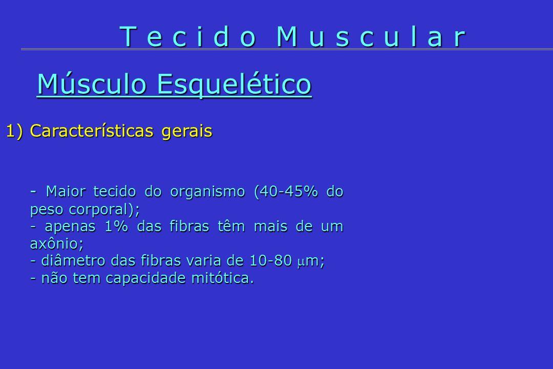 T e c i d o M u s c u l a r Músculo Esquelético Características gerais