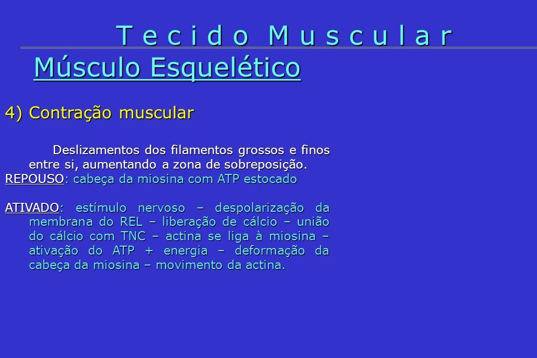 T e c i d o M u s c u l a r Músculo Esquelético 4) Contração muscular