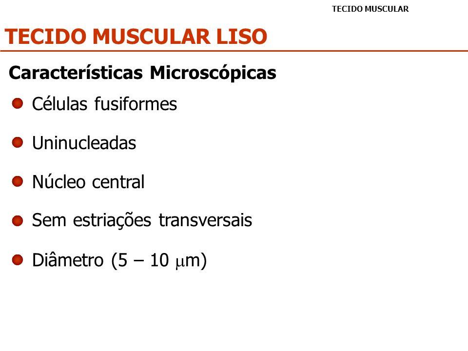 TECIDO MUSCULAR LISO Características Microscópicas Células fusiformes