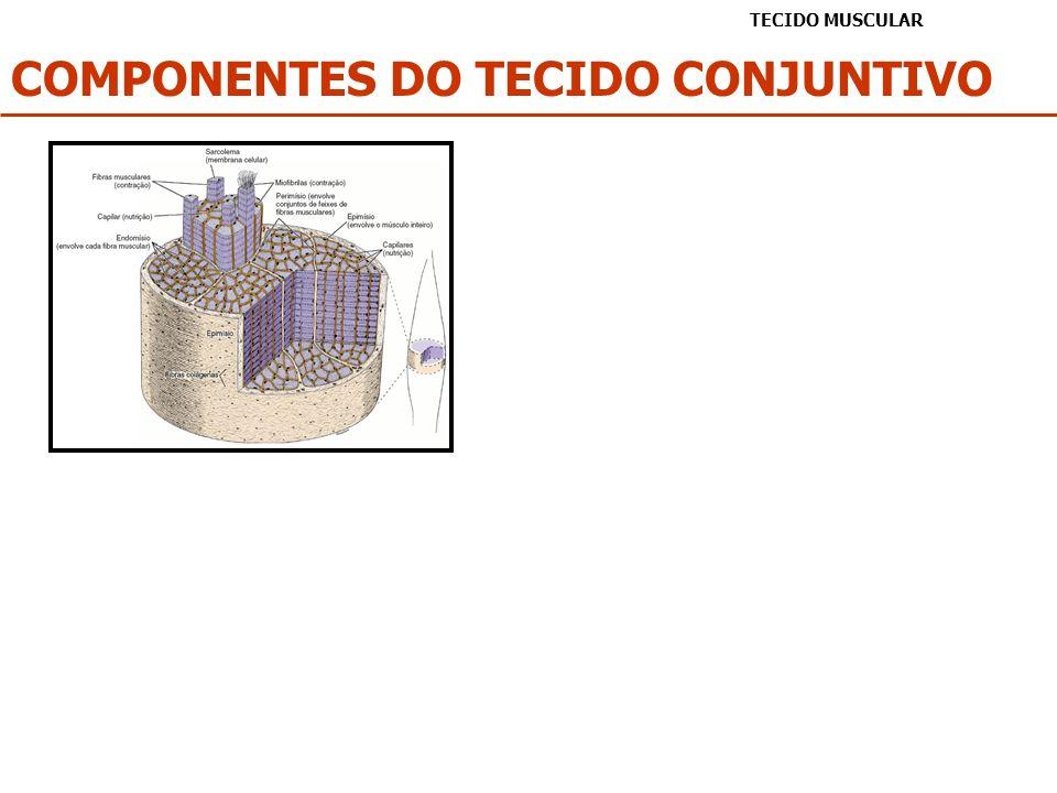 COMPONENTES DO TECIDO CONJUNTIVO
