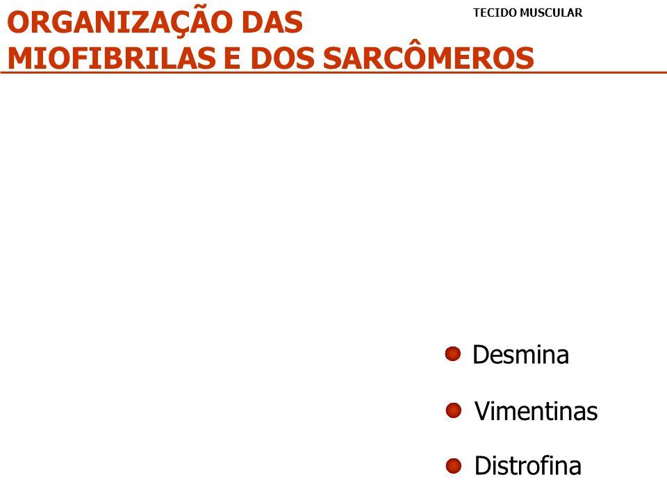 MIOFIBRILAS E DOS SARCÔMEROS