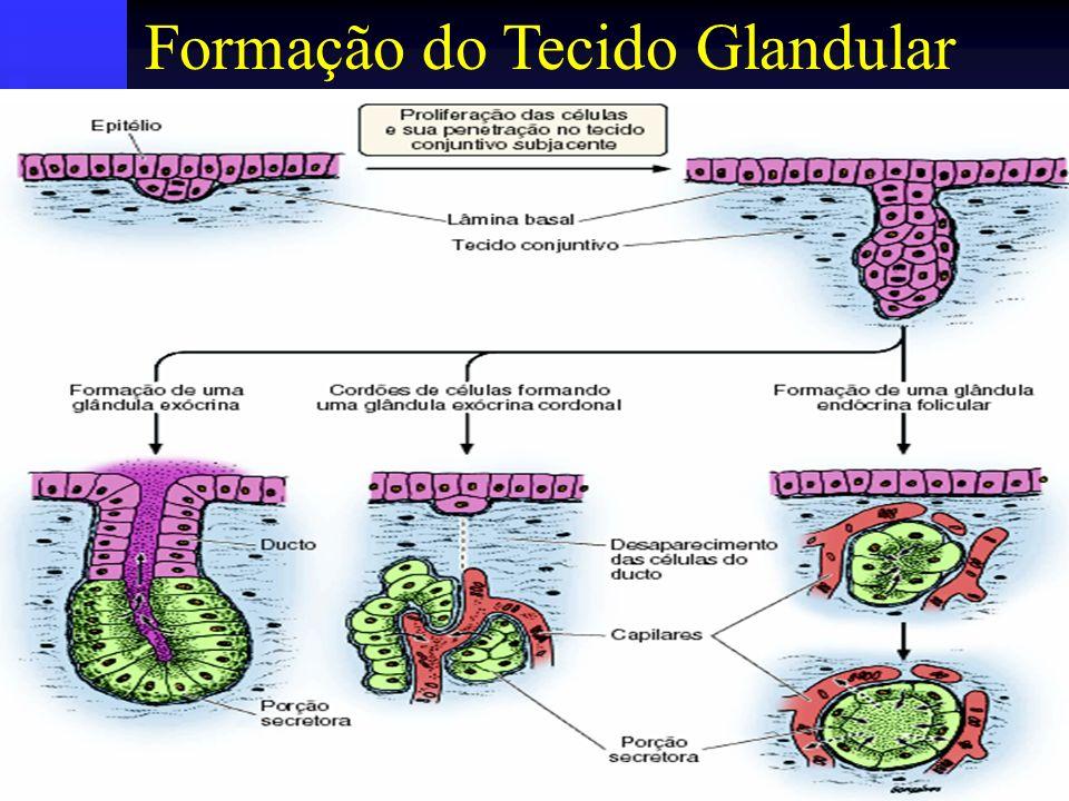 Formação do Tecido Glandular