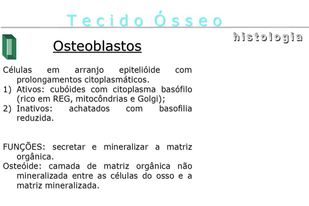 T e c i d o Ó s s e o histologia Osteoblastos