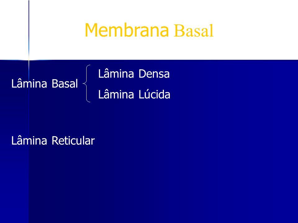 Membrana Basal Lâmina Lúcida Lâmina Basal Lâmina Reticular