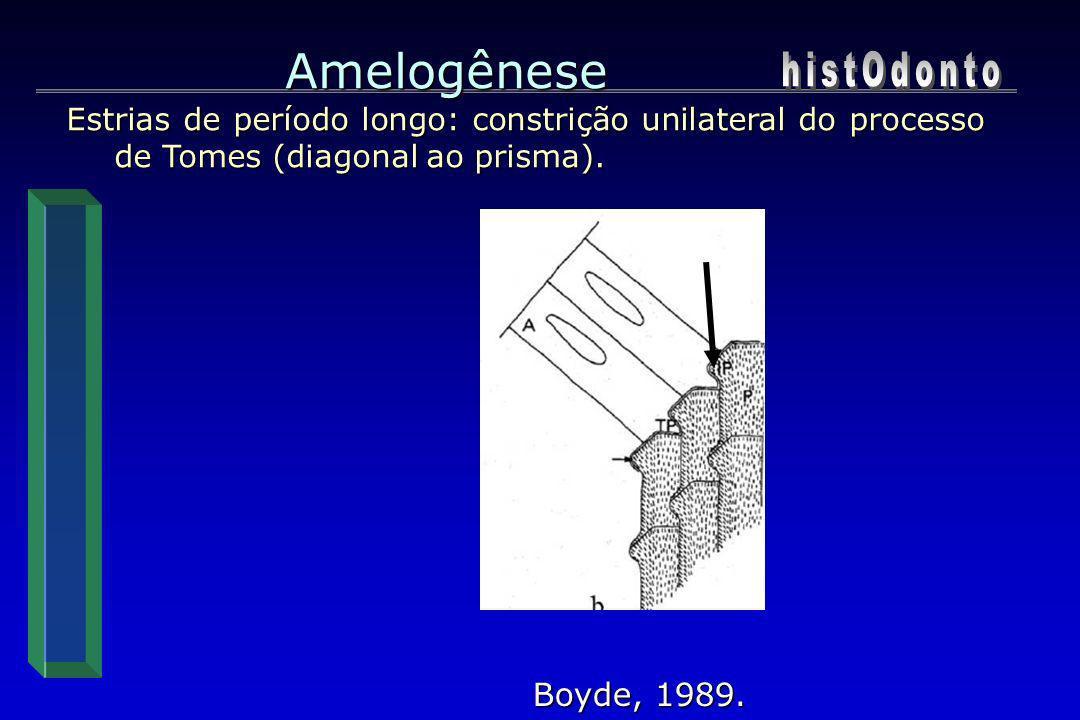 Amelogênese histOdonto Boyde, 1989.