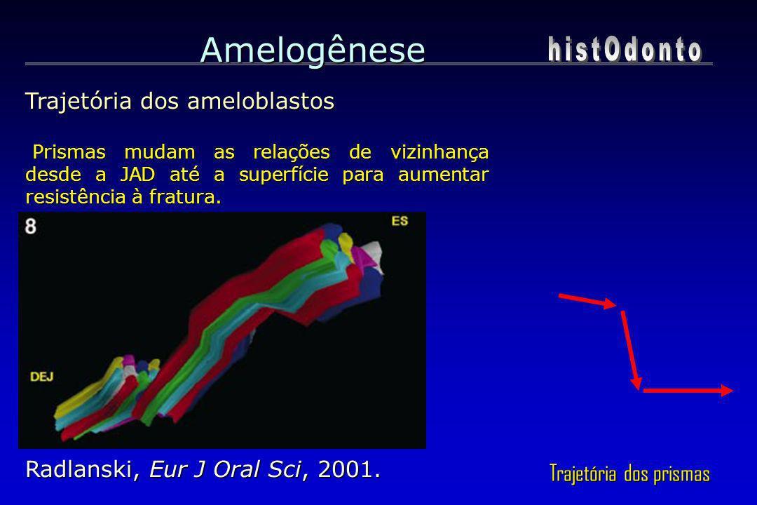 Amelogênese histOdonto Trajetória dos ameloblastos