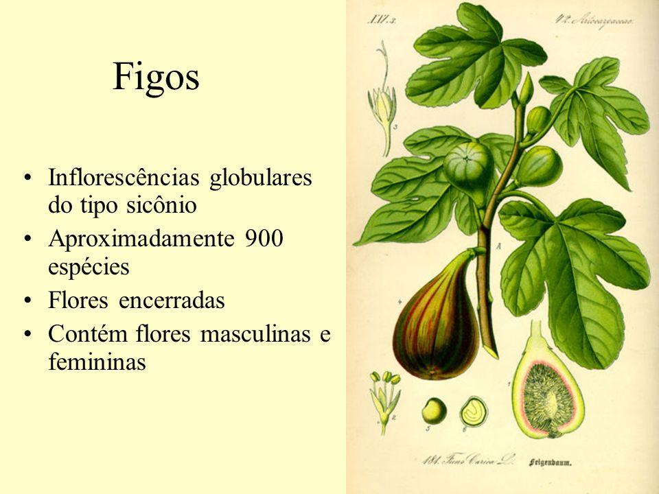 Figos Inflorescências globulares do tipo sicônio