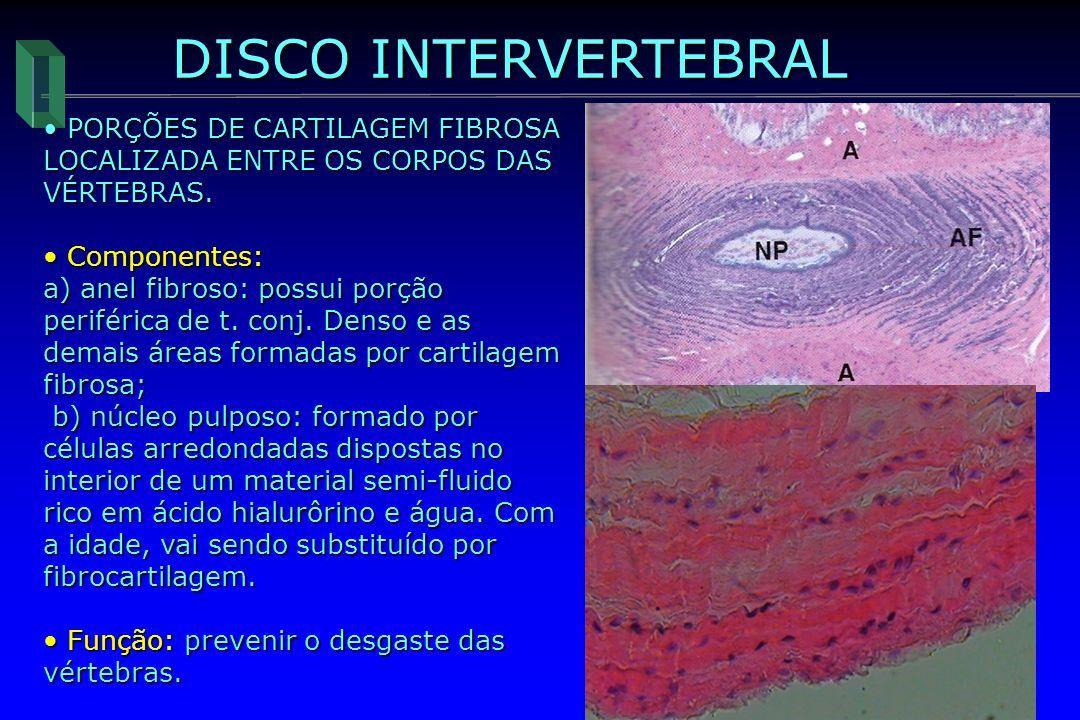 DISCO INTERVERTEBRAL PORÇÕES DE CARTILAGEM FIBROSA LOCALIZADA ENTRE OS CORPOS DAS VÉRTEBRAS. Componentes: