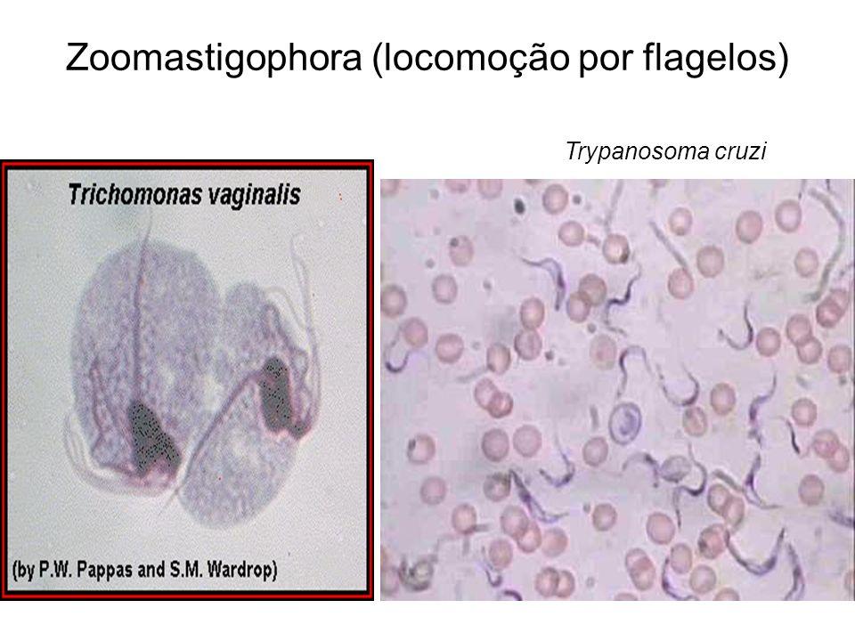 Zoomastigophora (locomoção por flagelos)