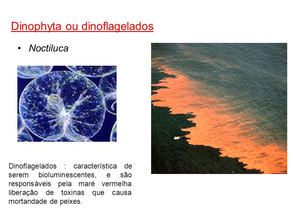 Dinophyta ou dinoflagelados