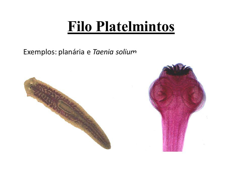 Exemplos: planária e Taenia solium.