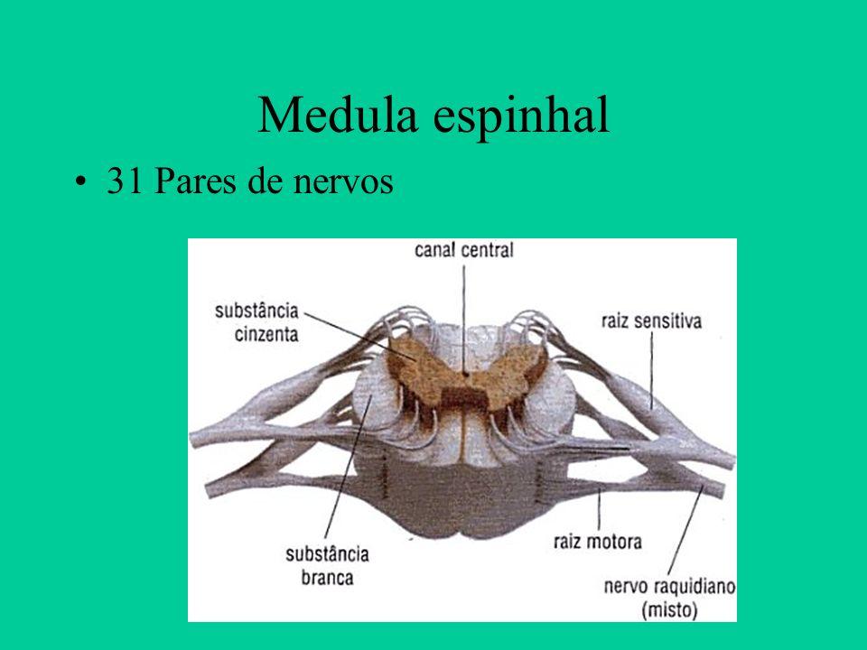 Medula espinhal 31 Pares de nervos