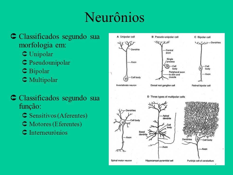 Neurônios Classificados segundo sua morfologia em: