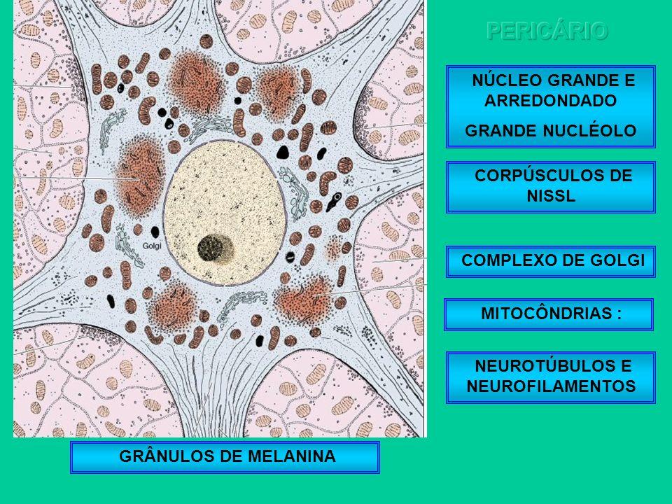 NÚCLEO GRANDE E ARREDONDADO NEUROTÚBULOS E NEUROFILAMENTOS