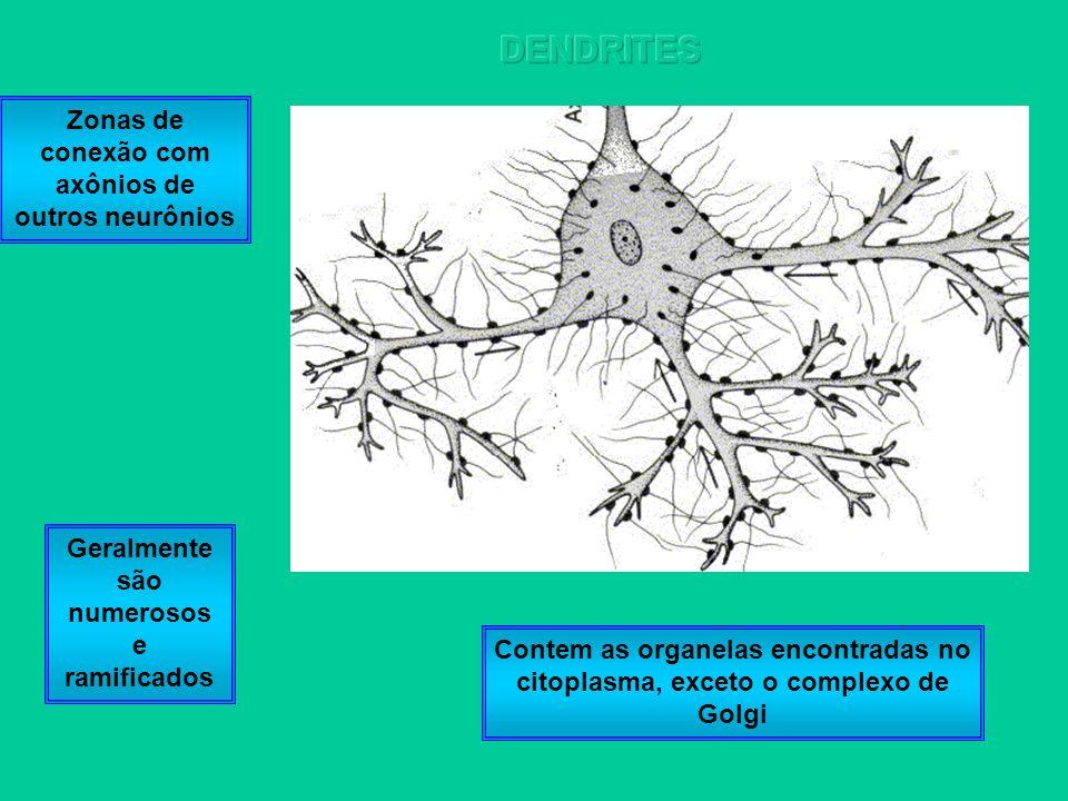DENDRITES Zonas de conexão com axônios de outros neurônios