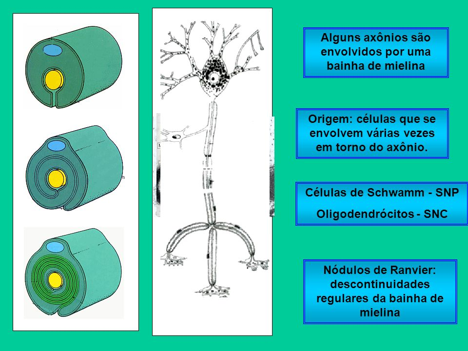 Alguns axônios são envolvidos por uma bainha de mielina
