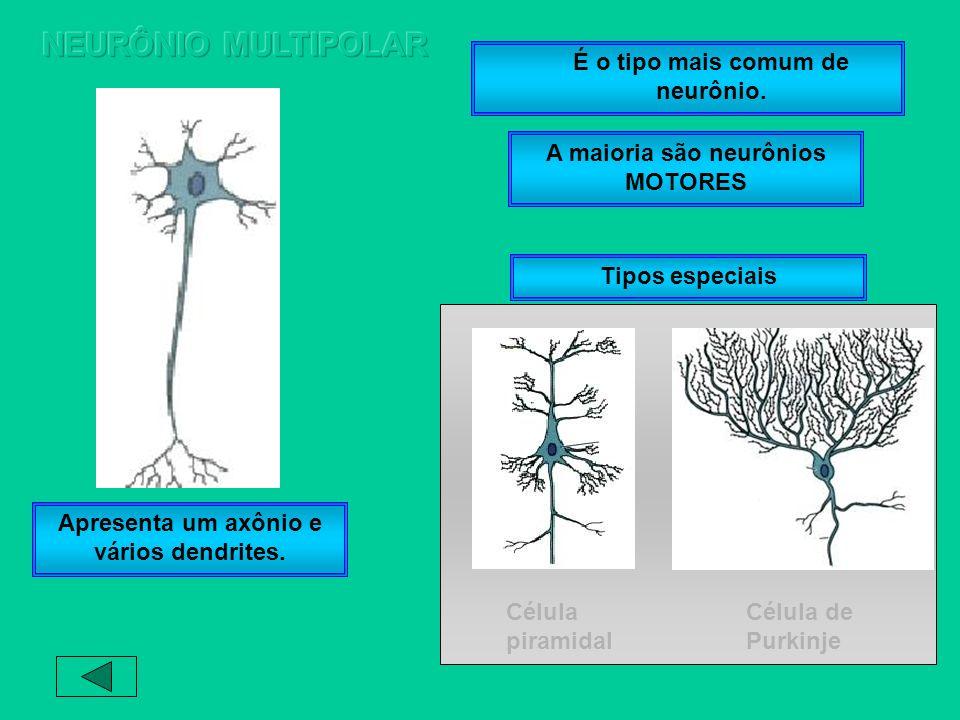 NEURÔNIO MULTIPOLAR É o tipo mais comum de neurônio.