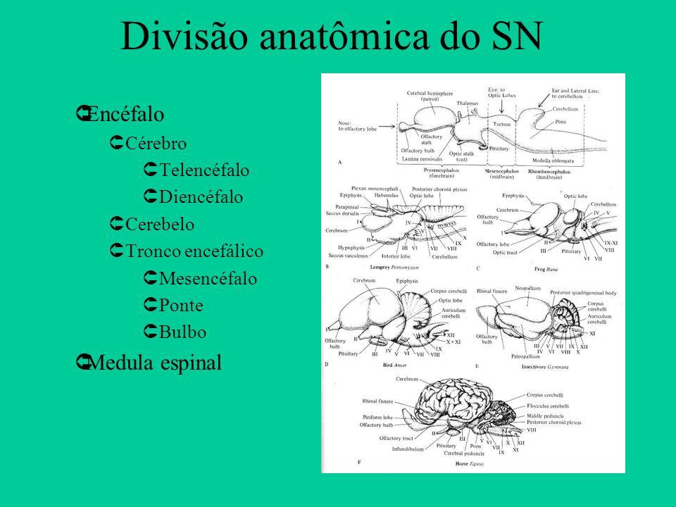 Divisão anatômica do SN