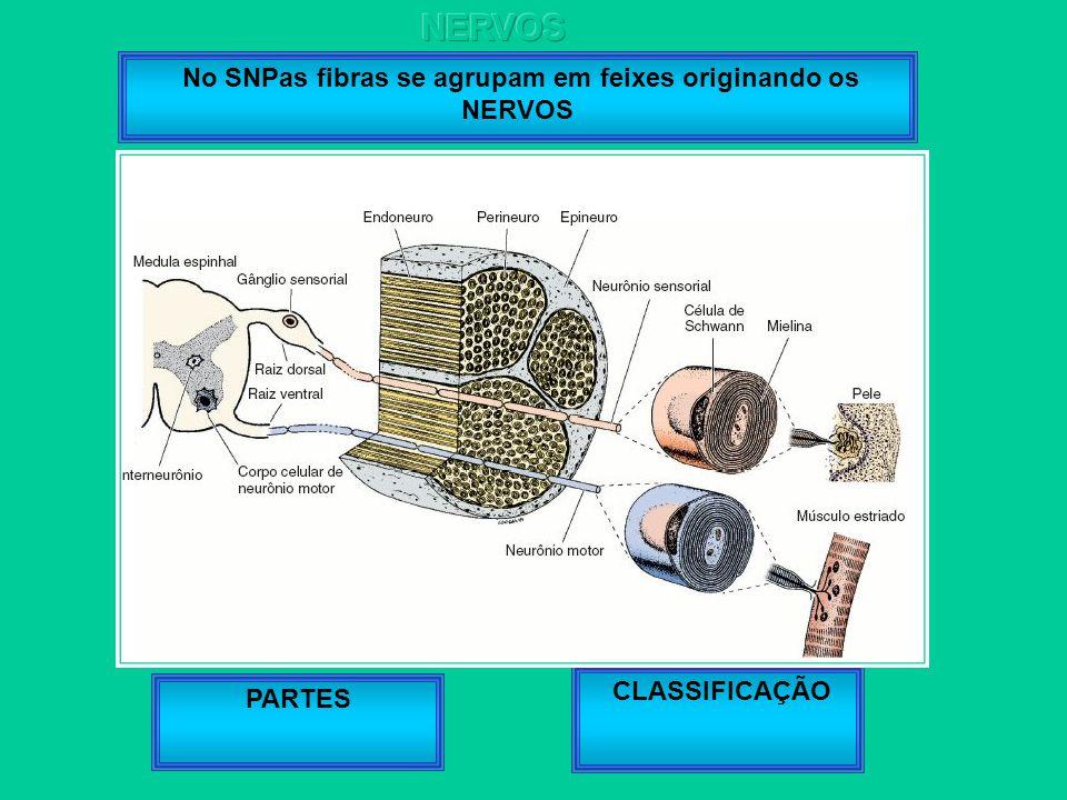 No SNPas fibras se agrupam em feixes originando os NERVOS