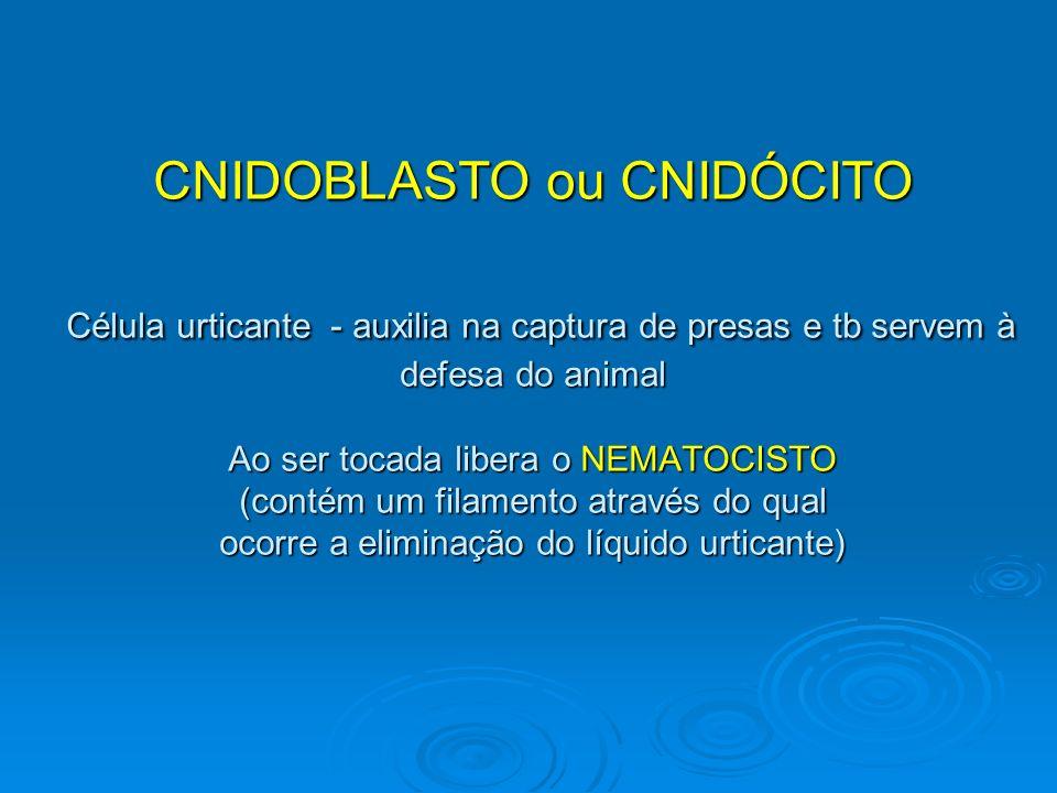 CNIDOBLASTO ou CNIDÓCITO Célula urticante - auxilia na captura de presas e tb servem à defesa do animal Ao ser tocada libera o NEMATOCISTO (contém um filamento através do qual ocorre a eliminação do líquido urticante)