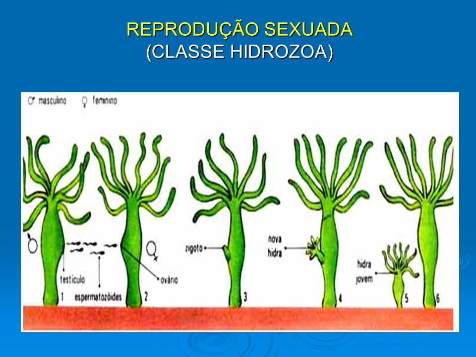 REPRODUÇÃO SEXUADA (CLASSE HIDROZOA)
