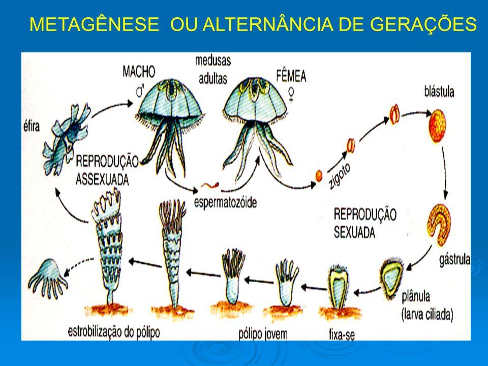METAGÊNESE OU ALTERNÂNCIA DE GERAÇÕES