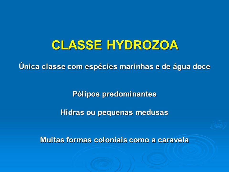 CLASSE HYDROZOA Única classe com espécies marinhas e de água doce