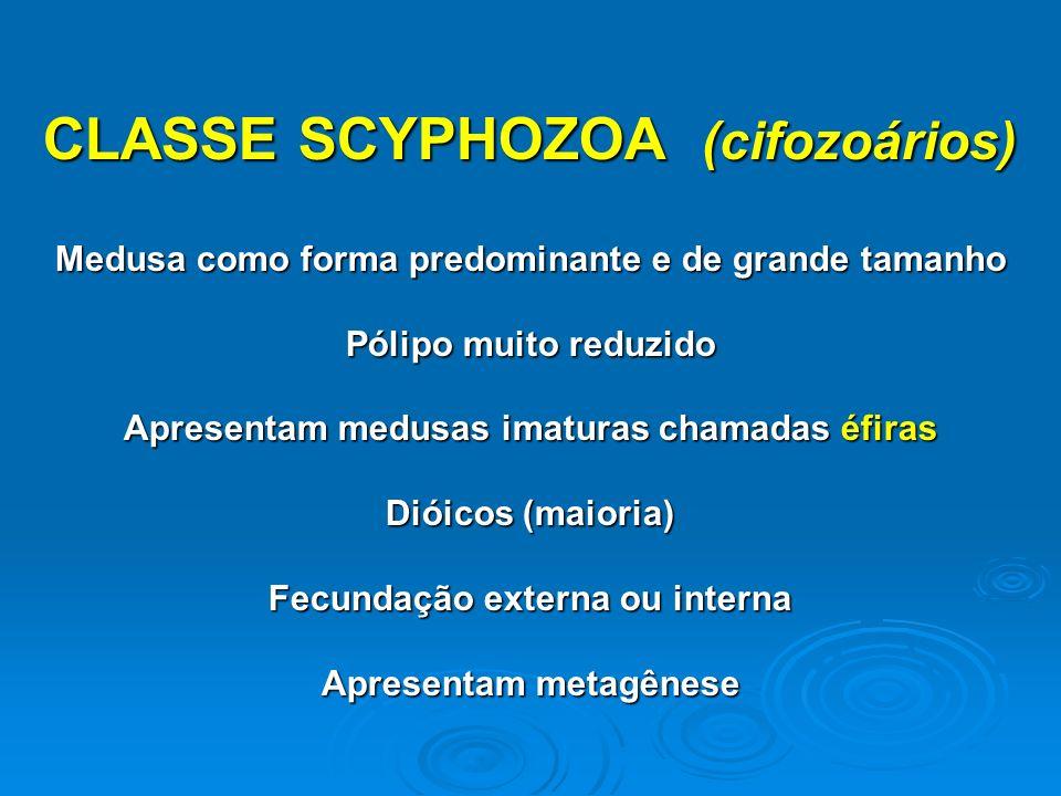 CLASSE SCYPHOZOA (cifozoários)
