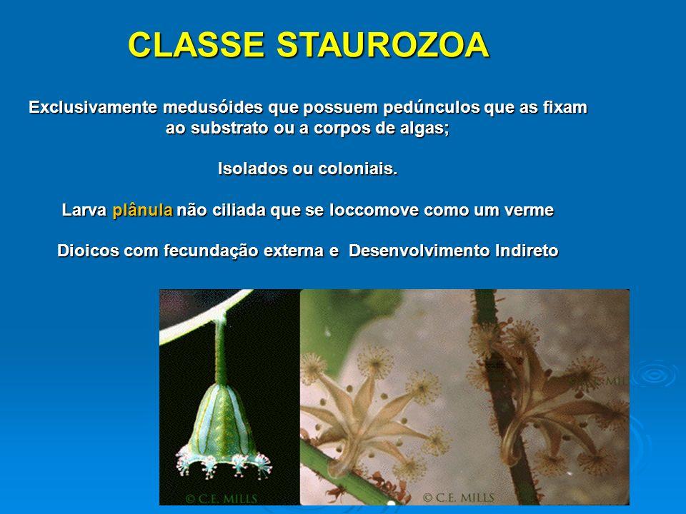 CLASSE STAUROZOA Exclusivamente medusóides que possuem pedúnculos que as fixam ao substrato ou a corpos de algas;