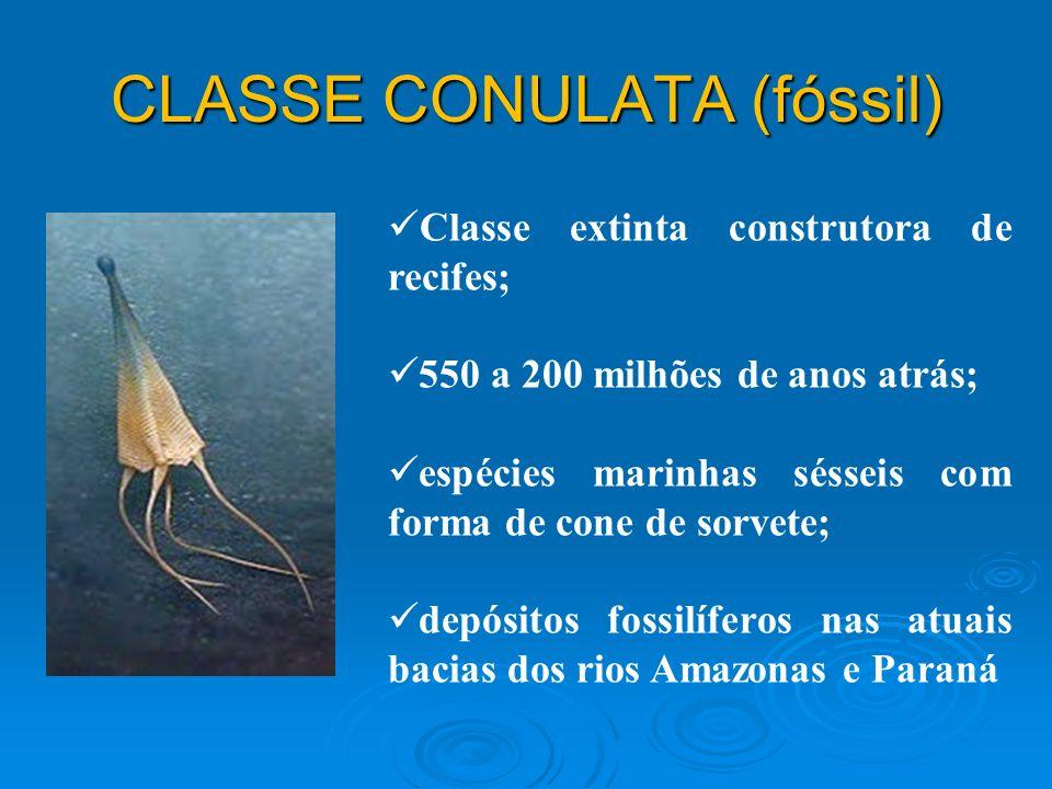 CLASSE CONULATA (fóssil)