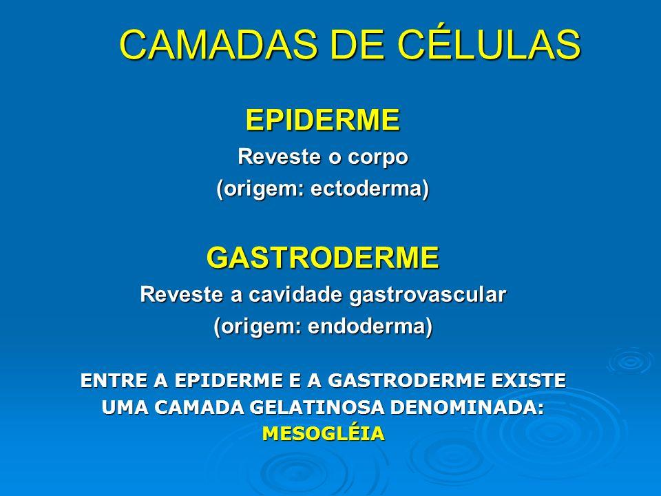 CAMADAS DE CÉLULAS EPIDERME GASTRODERME Reveste o corpo