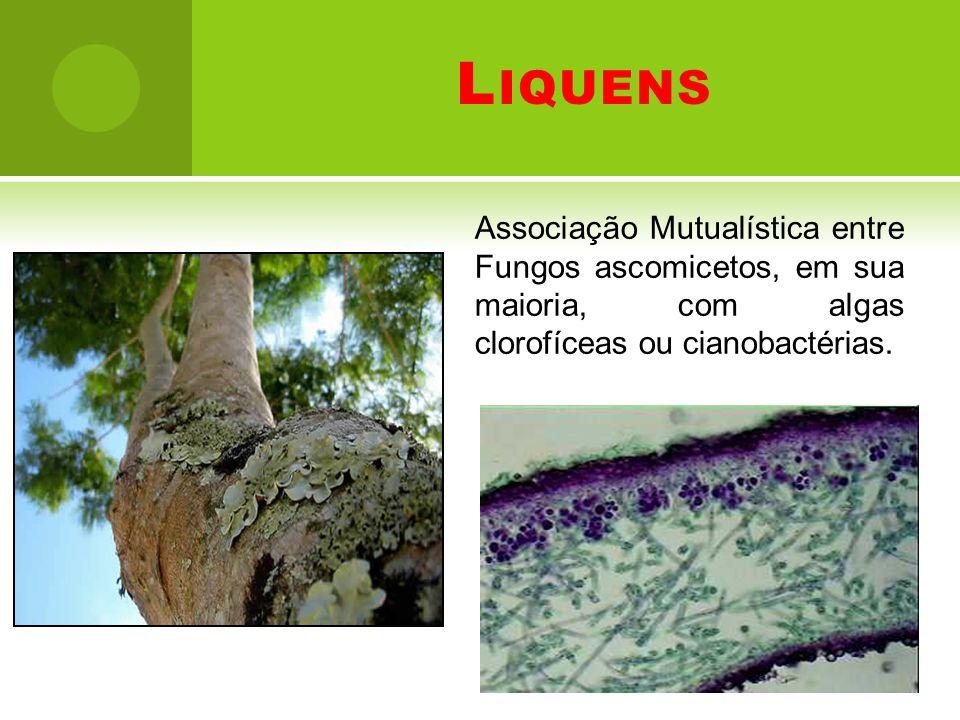 Liquens Associação Mutualística entre Fungos ascomicetos, em sua maioria, com algas clorofíceas ou cianobactérias.