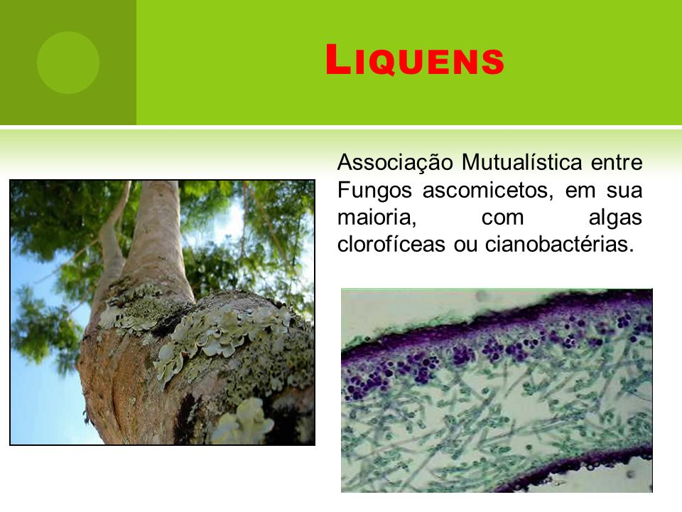 LiquensAssociação Mutualística entre Fungos ascomicetos, em sua maioria, com algas clorofíceas ou cianobactérias.