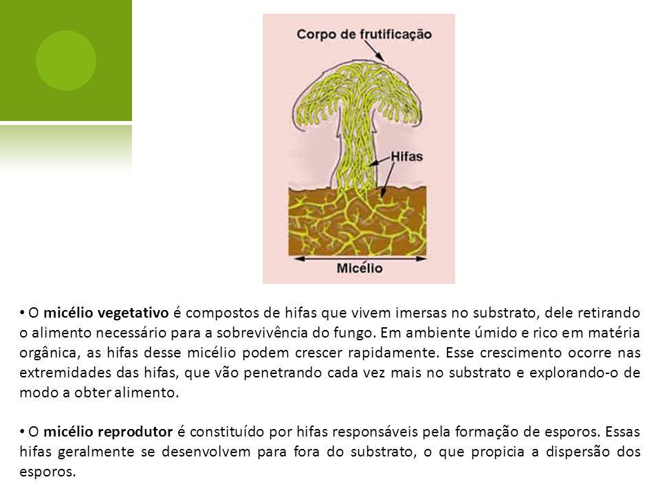 O micélio vegetativo é compostos de hifas que vivem imersas no substrato, dele retirando o alimento necessário para a sobrevivência do fungo. Em ambiente úmido e rico em matéria orgânica, as hifas desse micélio podem crescer rapidamente. Esse crescimento ocorre nas extremidades das hifas, que vão penetrando cada vez mais no substrato e explorando-o de modo a obter alimento.