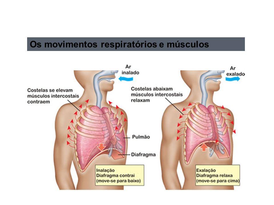 Os movimentos respiratórios e músculos