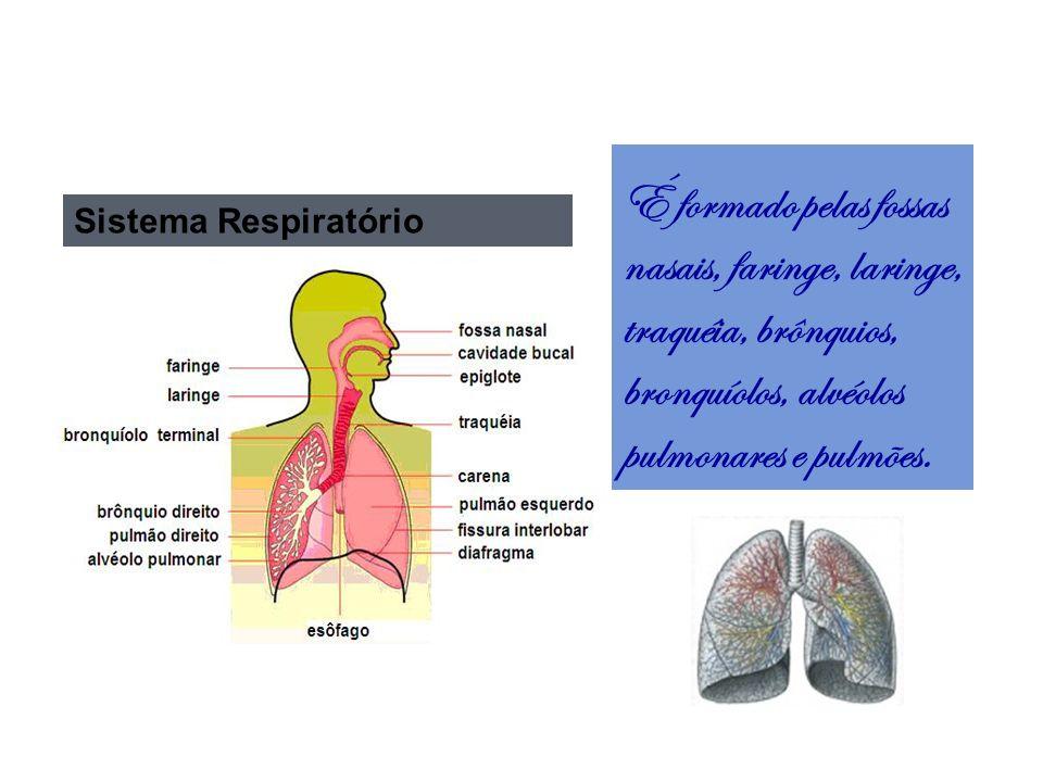 É formado pelas fossas nasais, faringe, laringe, traquéia, brônquios, bronquíolos, alvéolos pulmonares e pulmões.