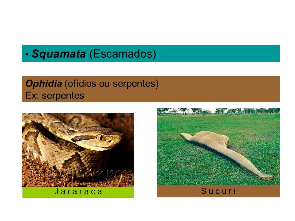 Ophidia (ofídios ou serpentes) Ex: serpentes