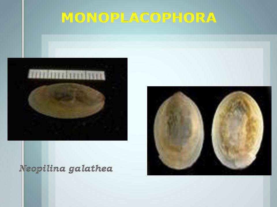 MONOPLACOPHORA Neopilina galathea