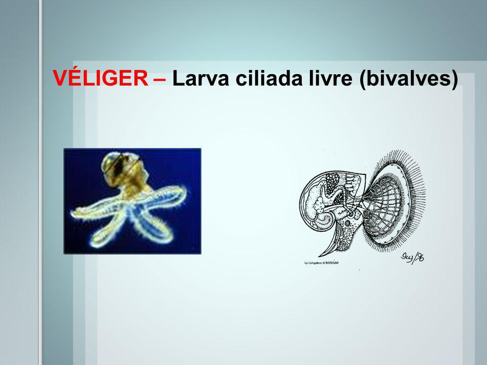 VÉLIGER – Larva ciliada livre (bivalves)