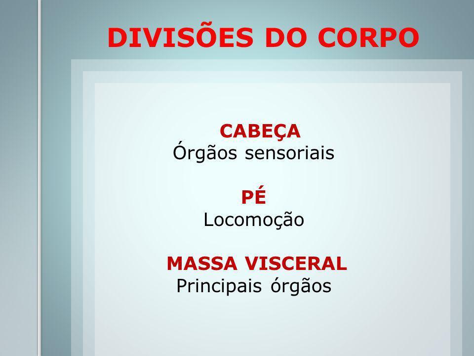 DIVISÕES DO CORPO CABEÇA Órgãos sensoriais PÉ Locomoção MASSA VISCERAL Principais órgãos