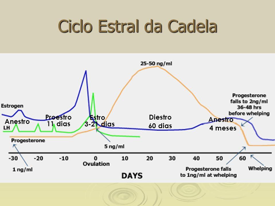 Ciclo Estral da Cadela Proestro Estro Diestro Anestro Anestro 11 dias