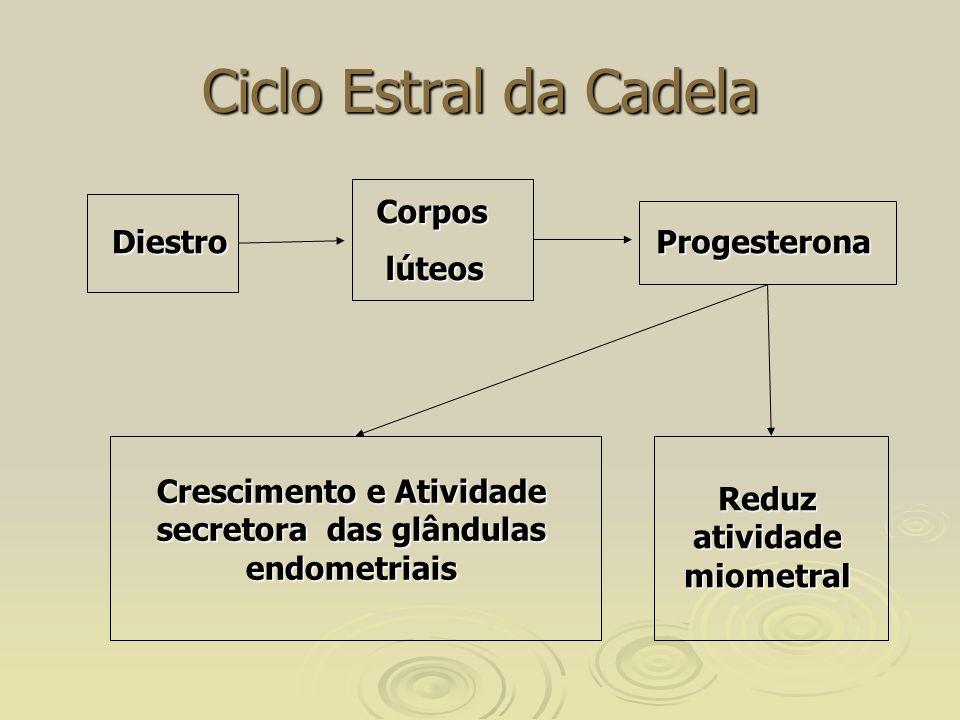 Ciclo Estral da Cadela Corpos lúteos Diestro Progesterona
