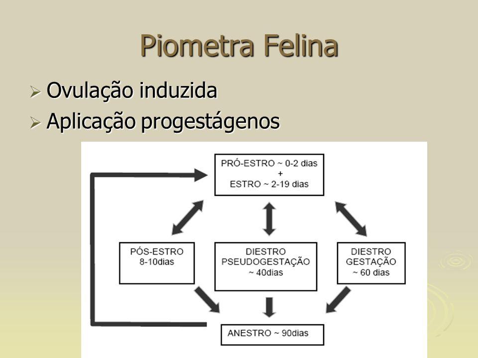 Piometra Felina Ovulação induzida Aplicação progestágenos