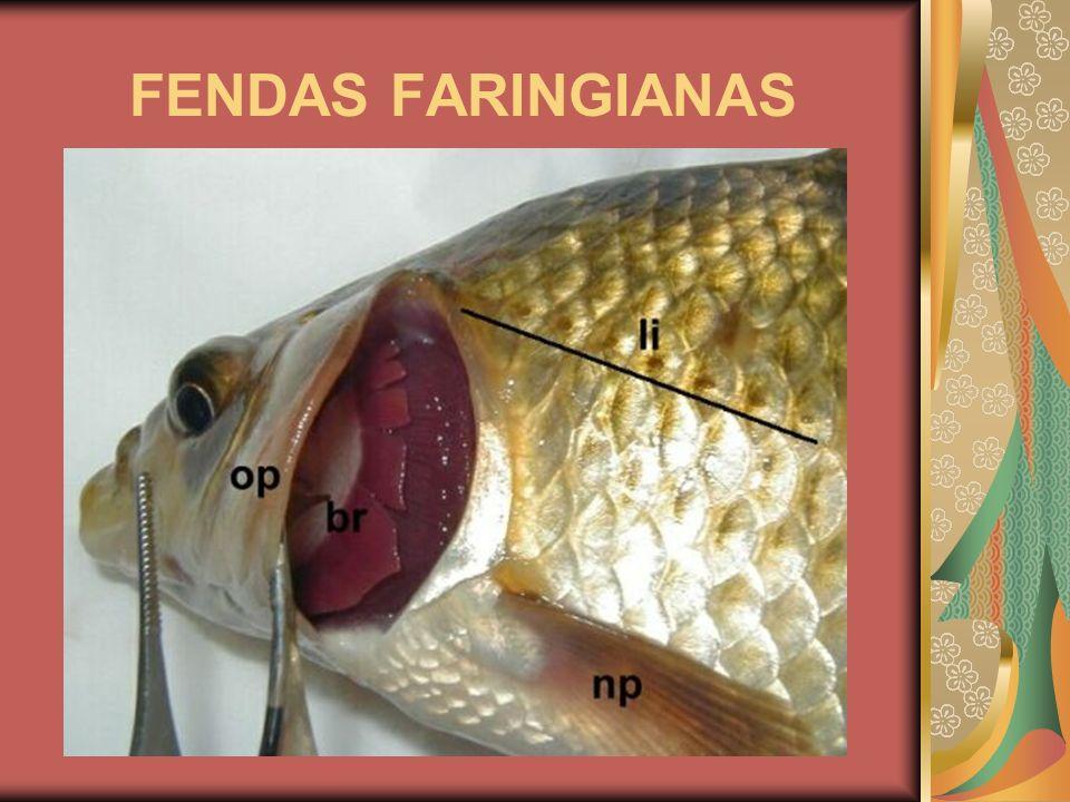 FENDAS FARINGIANAS