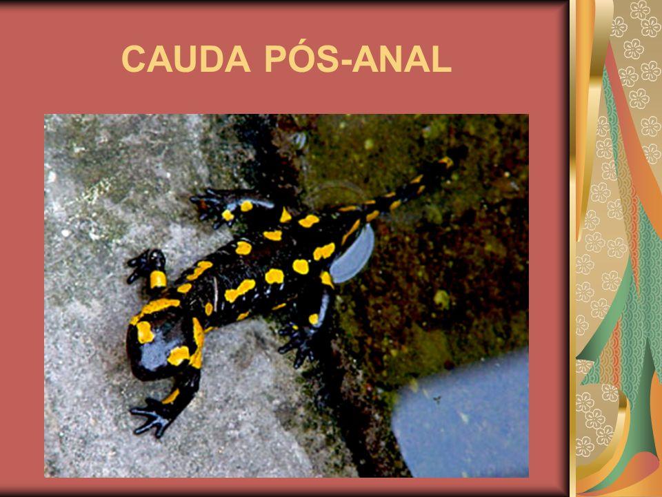 CAUDA PÓS-ANAL