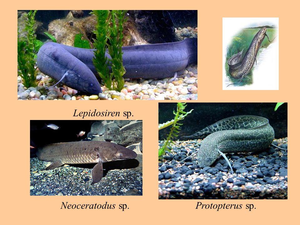 Lepidosiren sp. Neoceratodus sp. Protopterus sp.