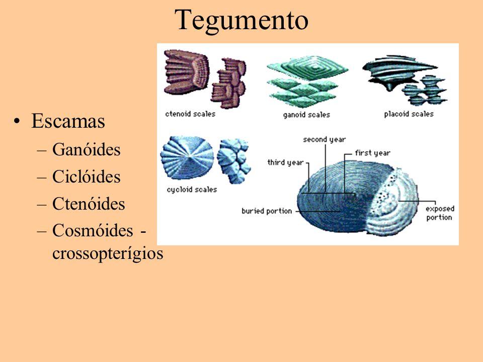 Tegumento Escamas Ganóides Ciclóides Ctenóides