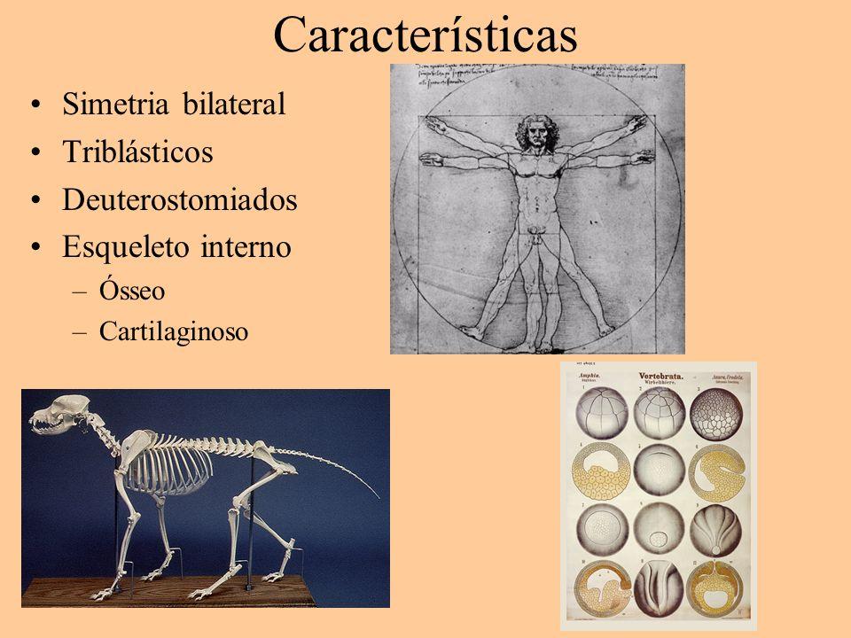 Características Simetria bilateral Triblásticos Deuterostomiados